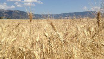 grano-alta-daunia (2)